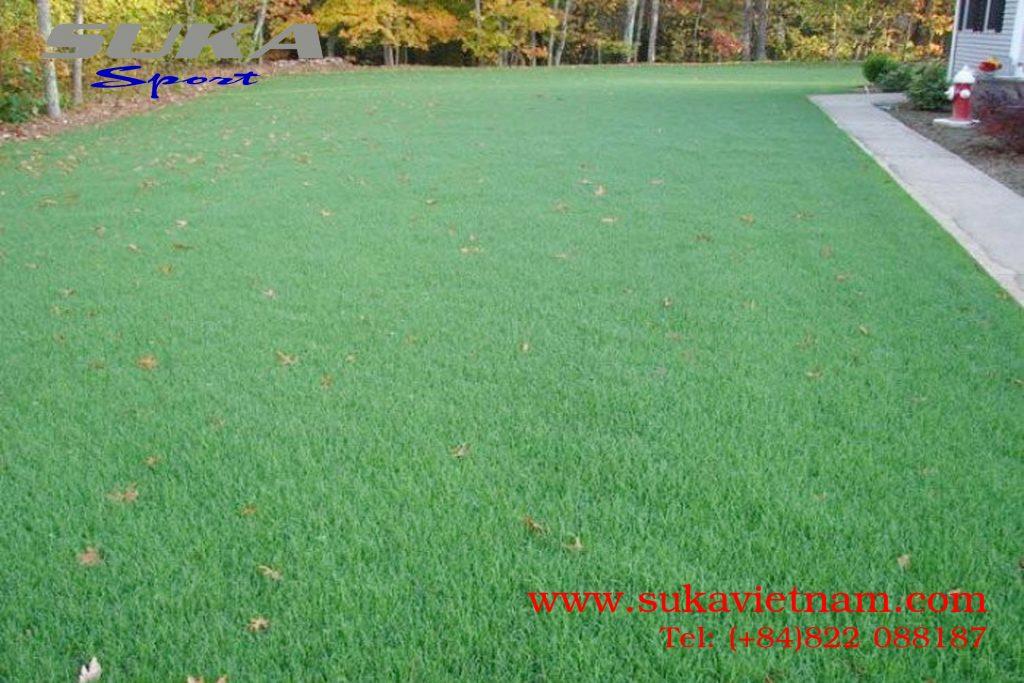 Hạt giống cỏ Bermuda